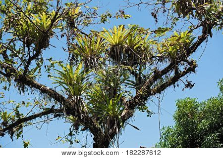 Several bromeli from tree branches on the beach of Drake, Costa Rica
