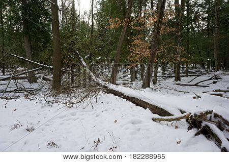 Fresh snow on a fallen tree on the forest floor in the Richard H. and Lydia Naas Raunecker Preserve in Harbor Springs, Michigan during November.