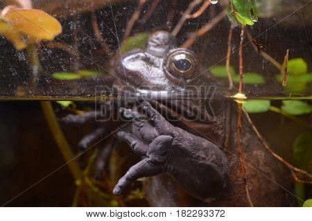 A large toad swimming in the water
