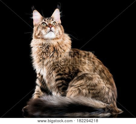 Portrait of domestic black tabby Maine Coon kitten. Fluffy kitty on black background. Studio shot beautiful curious young cat looking away.