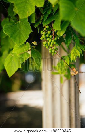 Bunch of grapes near the column in Montenegro