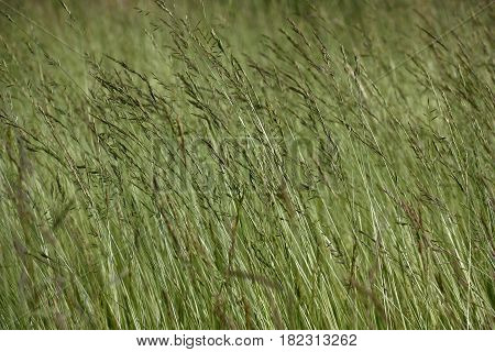 Long thin runaways of a grass for a lawn bend under weight of whisks with seeds.