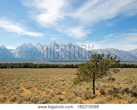 Lone Tree In Front Grand Tetons Peaks In Wyoming Usa