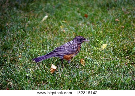 A young American robin (Turdus migratorius) stands on a lawn in Joliet, Illinois during July.