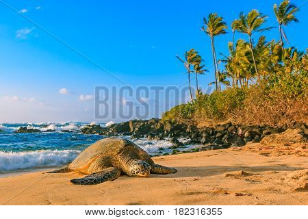 Endangered Hawaiian Green Sea Turtle resting on the sandy beach at North Shore Oahu Hawaii with palm trees and the ocean in the background poster