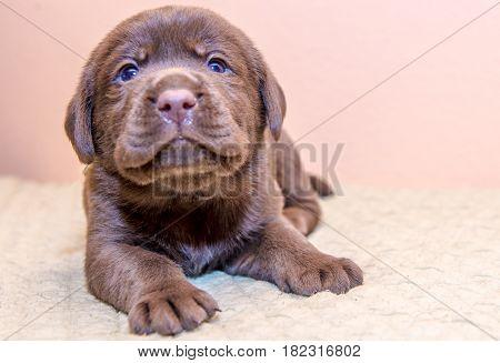 Puppy retriever labrador retriever dog brown chocolate color