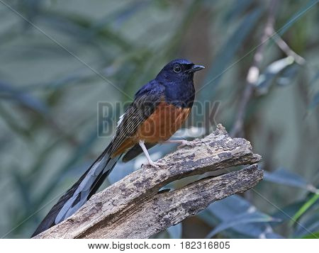 White-rumped shama resting on a branch in its habitat