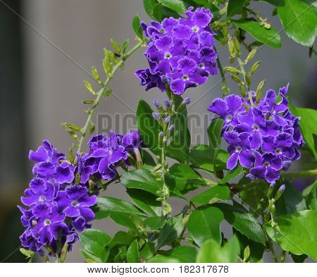 four clusters of purple Duranta erecta, sapphire showers, flowers hanging over the wall