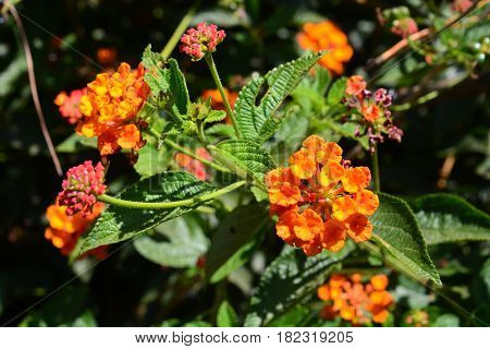 Cloth of gold Hedge flower Lantana Weeping lantana White sage