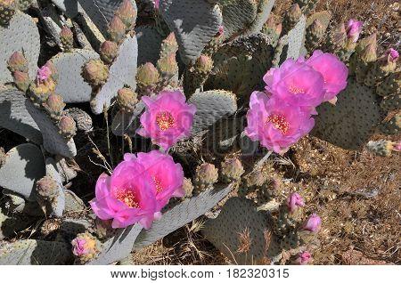 Blooming in Anza Borrego Desert National Park