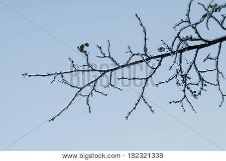 The branch of the tree was covered with ice with sudden changes in air temperature.