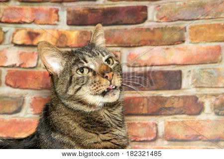 Portrait of a brown domestic tabby cat looking up to viewers right mouth slightly open and curled up partially sticking out. Brick wall in the background. Copy space