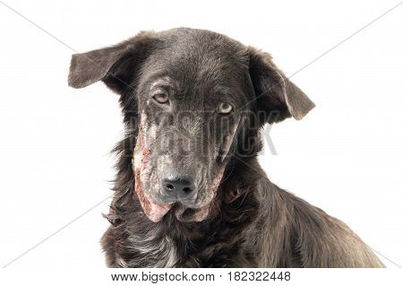 Closeup face of dog sick leprosy skin problem with white background