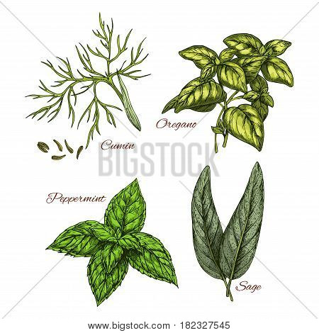 Herb and spice dressing vector sketch icons set. Cumin plant seeds, oregano leaf and aroma peppermint or sage. Isolated greens condiments for salads and herbal seasonings of culinary cuisine