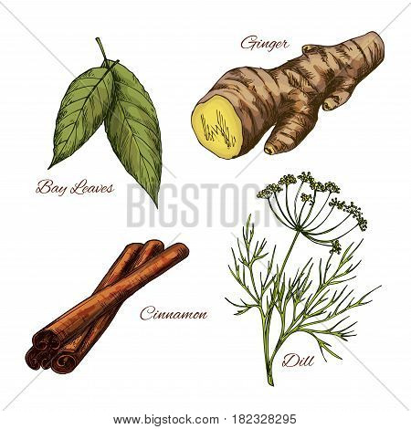 Herb and spice seasonings vector sketch icons set. Bay leaf cooking aroma condiment, spicy ginger root, cinnamon and dill. Herbal dressings for culinary cuisine and salads