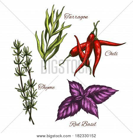 Spices and herbs, seasonings and flavorings vector sketch icons of thyme and spicy chili pepper, tarragon culinary condiment and red basil leaf for salad dressing