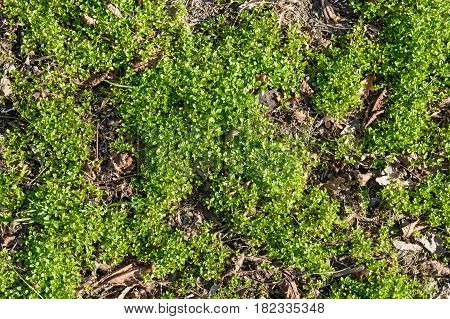 Closeup of green creeping grass leaves with dry brown tree leaves background texture