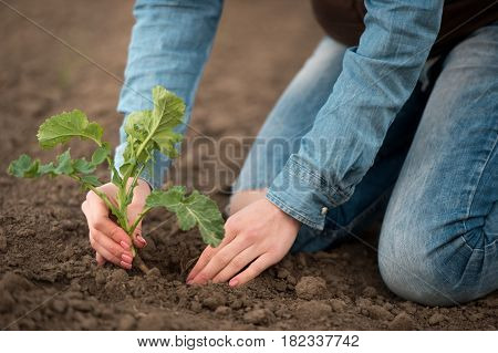 Female hands hold a sprout. Woman hands holding green small Rapeseed sprout.