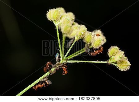 Ants Herds Aphids