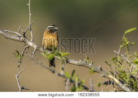 Cinnamon-breasted bunting in Kruger national park, South Africa ; Specie Fringillaria tahapisi family of Emberizidae