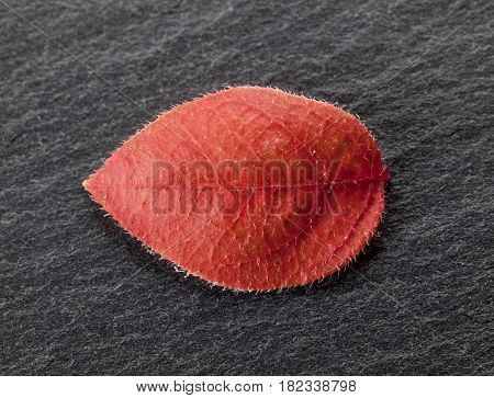 Wilted Leaf On Black Rock