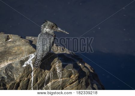 African giant kingfisher in Kruger national park, South Africa ; Specie Megaceryle maxima family of Alcedinidae
