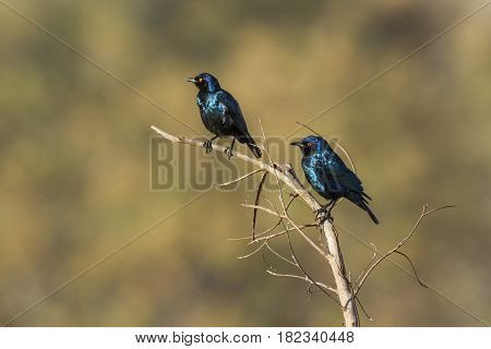 Greater blue-eared glossy-starling in Kruger national park, South Africa ; Specie Lamprotornis australis family of Sturnidae