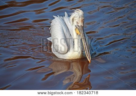 Dalmatian Pelican bird swimming on a lake