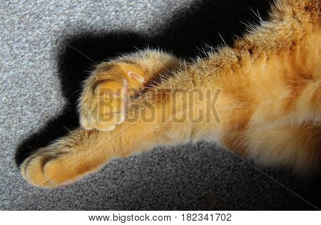 Ginger cat paws crossed legs fluffy cute with claws on grey carpet