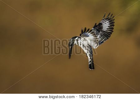 Pied kingfisher in Kruger national park, South Africa ; Specie Ceryle rudis family of Alcedinidae