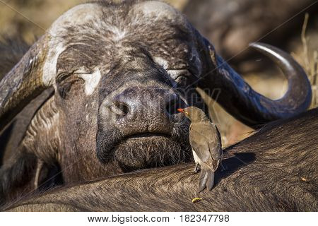 African buffalo in Kruger national park, South Africa ; Specie Syncerus caffer and Buphagus erythrorhynchus