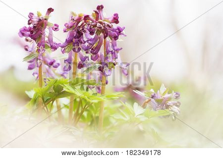 Spring sunny flowers Corydalis in a light key natural beautiful spring background