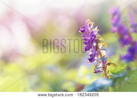 Spring sunny flowers Corydalis in a sun light natural beautiful spring soft background