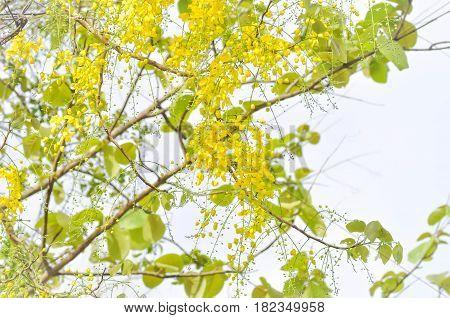 Golden shower or Cassia fistula , yellow flower