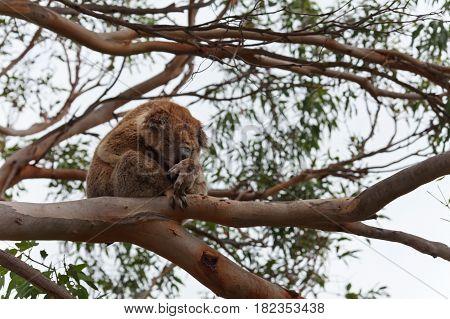 Koala sleeps on a branch of eucalyptus.