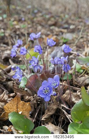 Blooming liverwort (hepatica nobilis) flowers in the early spring, in Estonia.
