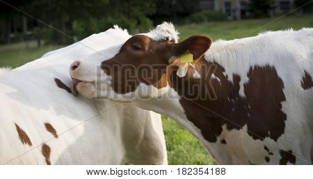 red frisian cow licking the back of another cow