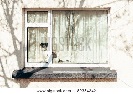 Malahide, Ireland - April 8, 2017: A black and white dog sits on the window sill of a house looking outside.