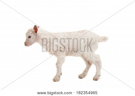 Little pretty goatling on a white background