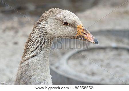 Portrait Of A Goose Closeup.