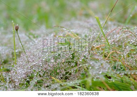 Small rain drops after a drizzle on fine flowering grass