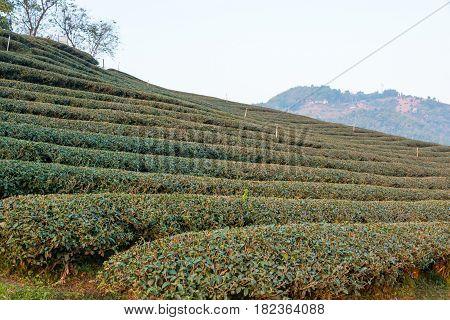 Chiang Rai, Thailand. - Feb 28 2015: Morning View Of Tea Plantation. Landscape Of Tea Plantation At