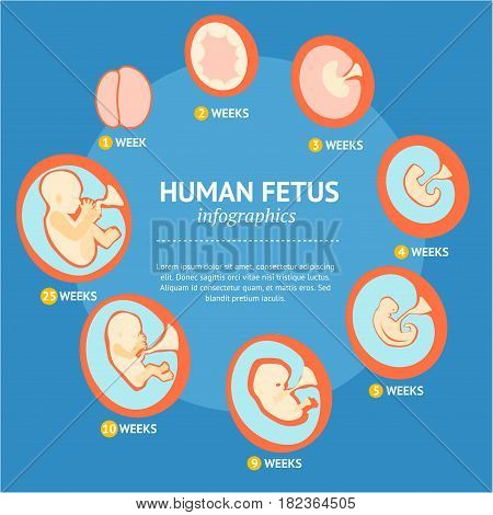 Pregnancy Fetal Growth Stage Development Inside the Womb Woman Infographic Menu Banner Card. Flat Design Style Vector illustration
