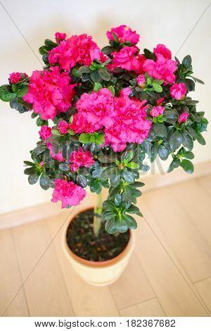 Beautiful blooming pink azalea flower in pot on floor in house, top view