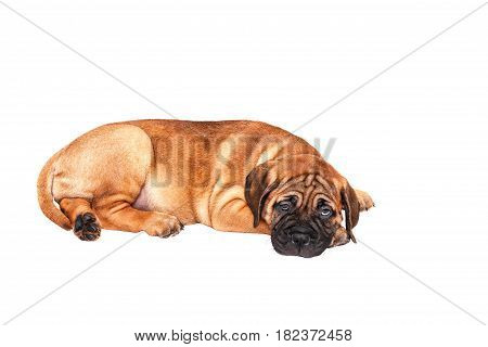 Dogs on a white background in the studio sit, lie, walk, poster