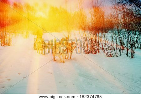 Husky- dog sledding trips in the winter woods. Active movement - the guarantee of health Husky - dog sledding trips in the winter woods. Active lifestyle - the guarantee of health