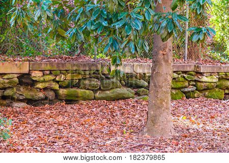 The magnolia tree the stone wall and dry leaves in autumn park