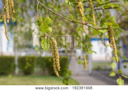 Spring. Birch twig with catkins and leaves background