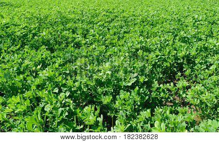 fresh alfalfa lucerne field in springtime background