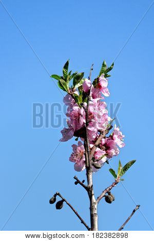 Closeup of pink plum blossoms in spring